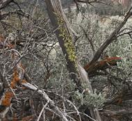 juniper sage and lichen